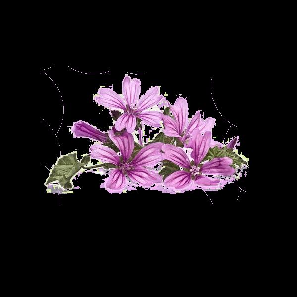 Propiedades cosmeticas del extracto hidroglicerinado de las flores de la malva silvestre