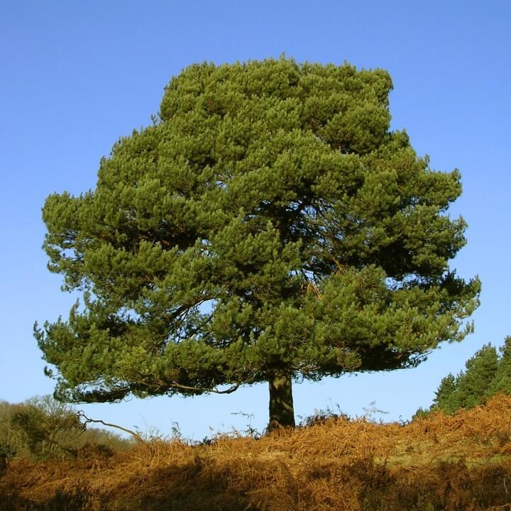 Pynus sylvestris reforestación bosques