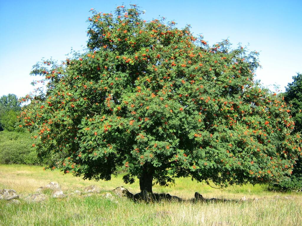 Sorbus aucuparia reforestación bosques