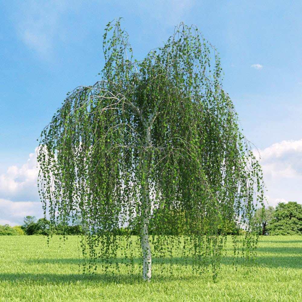 Betula alba reforestación bosques