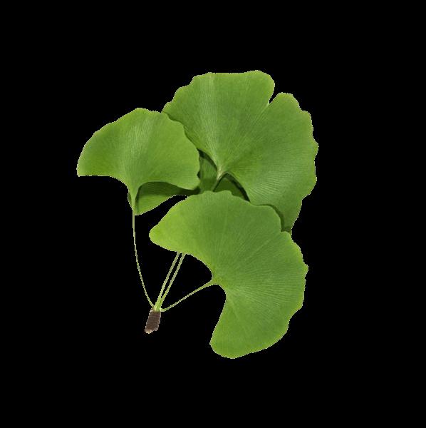 Propiedades cosmeticas del extracto hidroglicerinado de las hojas de Ginkgo biloba