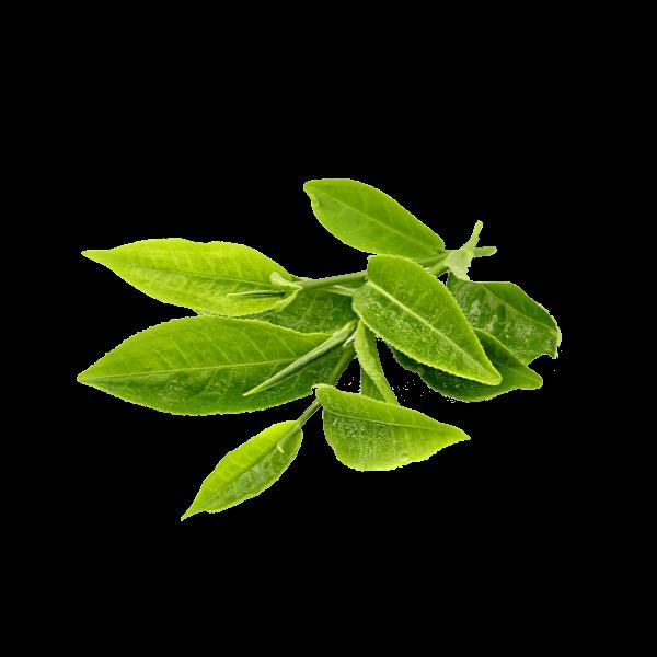 Propiedades cosméticas del extracto de te verde