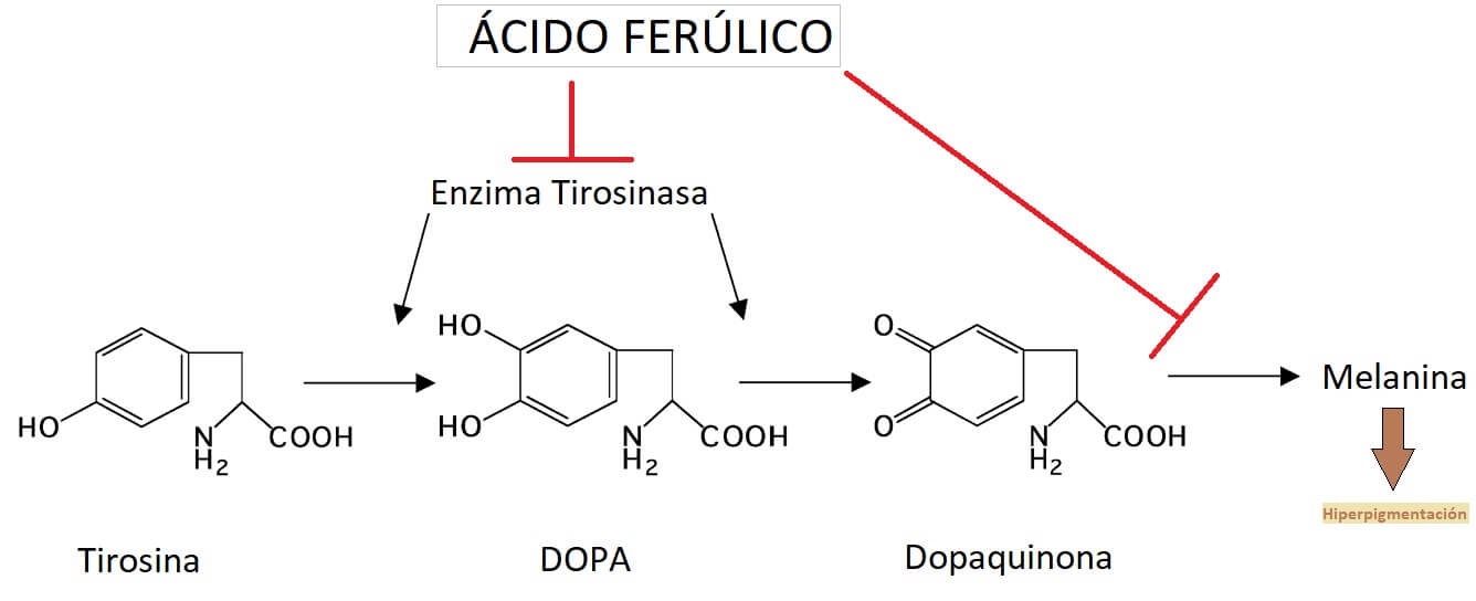Mecanismo por el cual el acido ferulico inhibe la enzima tirosinasa y reduce la hiperpigmentacion en la piel