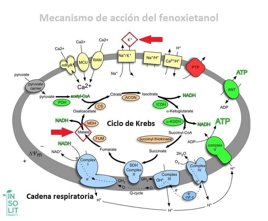 Mecanismo de acción del fenoxietanol