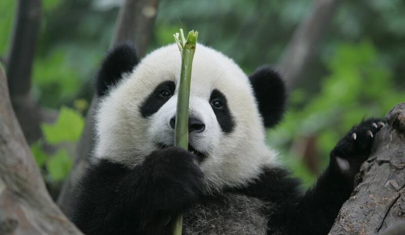 Bambu moso respetuoso con los osos panda