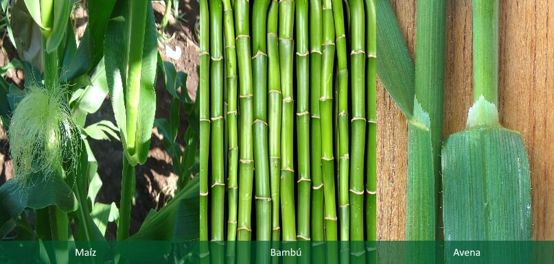 El bambu es una graminea