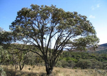 Bisabolol natural en arbol de Candeia
