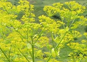 Bisabolol natural en apiacea